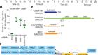 The shieldin complex mediates 53BP1-dependent DNA repair