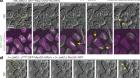 Gamete fusion triggers bipartite transcription factor assembly to block re-fertilization