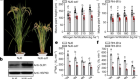 Modulating plant growth–metabolism coordination for sustainable agriculture