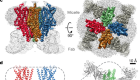 Cryo-EM structure of the insect olfactory receptor Orco