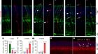 Restoration of vision after de novo genesis of rod photoreceptors in mammalian retinas