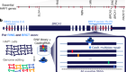 Accurate classification of BRCA1 variants with saturation genome editing