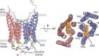 Crystal structure of the natural anion-conducting channelrhodopsin GtACR1