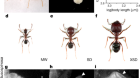 Social regulation of a rudimentary organ generates complex worker-caste systems in ants