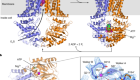 Cryo-EM structures of a human ABCG2 mutant trapped in ATP-bound and substrate-bound states