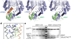 Structural plasticity of D3–D14 ubiquitin ligase in strigolactone signalling