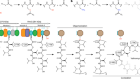 Trapping biosynthetic acyl-enzyme intermediates with encoded 2,3-diaminopropionic acid