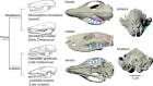 Rolling of the jaw is essential for mammalian chewing and tribosphenic molar function