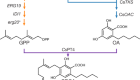Complete biosynthesis of cannabinoids and their unnatural analogues in yeast