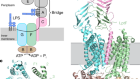Structural basis of unidirectional export of lipopolysaccharide to the cell surface