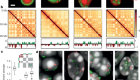 Heterochromatin drives compartmentalization of inverted and conventional nuclei