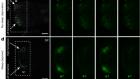 Neural signatures of sleep in zebrafish