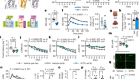 Treatment of type 2 diabetes with the designer cytokine IC7Fc