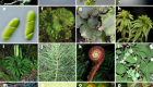 One thousand plant transcriptomes and the phylogenomics of green plants