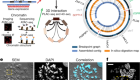 Circular ecDNA promotes accessible chromatin and high oncogene expression