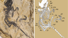 Cretaceous fossil reveals a new pattern in mammalian middle ear evolution