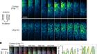 Coupling delay controls synchronized oscillation in the segmentation clock