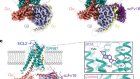 Structures of the glucocorticoid-bound adhesion receptor GPR97–Go complex