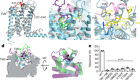 Structural basis of ligand recognition and self-activation of orphan GPR52