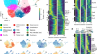 Single-cell and spatial transcriptomics reveal somitogenesis in gastruloids