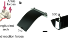 Stiffness of the human foot and evolution of the transverse arch