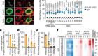 Nucleolar RNA polymerase II drives ribosome biogenesis