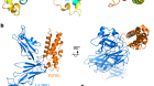 Structural basis for RIFIN-mediated activation of LILRB1 in malaria