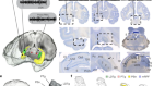Coupling of hippocampal theta and ripples with pontogeniculooccipital waves