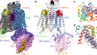 Structure of the class D GPCR Ste2 dimer coupled to two G proteins