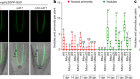 An SHR–SCR module specifies legume cortical cell fate to enable nodulation