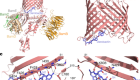 The antibiotic darobactin mimics a β-strand to inhibit outer membrane insertase