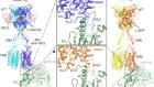 Structures of Gi-bound metabotropic glutamate receptors mGlu2 and mGlu4