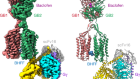 Structural basis of GABAB receptor–Gi protein coupling