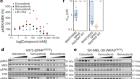 ARAF mutations confer resistance to the RAF inhibitor belvarafenib in melanoma