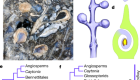 Mesozoic cupules and the origin of the angiosperm second integument