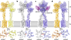 Structures of human mGlu2 and mGlu7 homo- and heterodimers