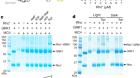 Structures of rhodopsin in complex with G-protein-coupled receptor kinase 1