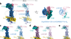 Structures of full-length glycoprotein hormone receptor signalling complexes