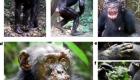Leprosy in wild chimpanzees