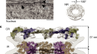 The cellular environment shapes the nuclear pore complex architecture