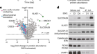 SLC25A39 is necessary for mitochondrial glutathione import in mammalian cells