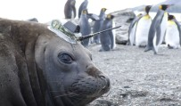 Antarctic seals recruited to measure effects of climate change