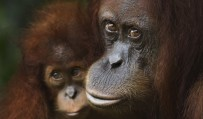 High-quality genomes reveal new differences between the great apes