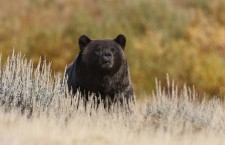 Yellowstone grizzly bears back under endangered-species protections