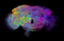 3D image reveals hidden neurons in fruit-fly brain
