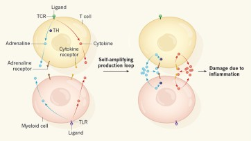 Adrenaline fuels a cytokine storm during immunotherapy
