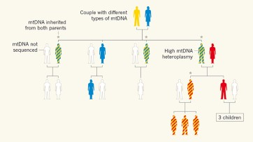 Mitochondrial DNA can be inherited from fathers, not just mothers