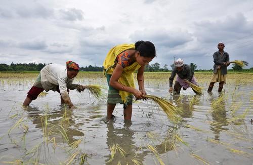 'Green revolution' crops bred to slash fertilizer use