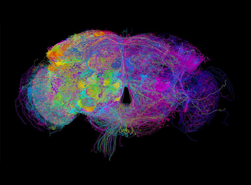 3D image reveals hidden neurons in fruit-fly brain