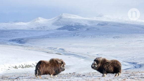 Arctic odysseys: science among sea bears and musk oxen